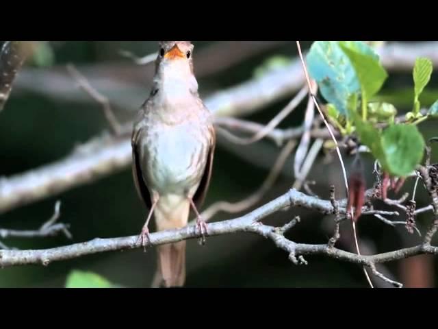 El Ruiseñor (Luscinia Megarhynchos)