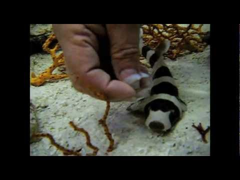 The Feeding - Banded Cat Sharks Fed by Hand