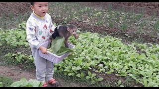 Baby Monkey   Doo Eats And Picks Vegetables With Family