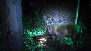 COON DOG GETS ATTACKED  ON COON HUNT, PERRYTWINS OUTDOORS