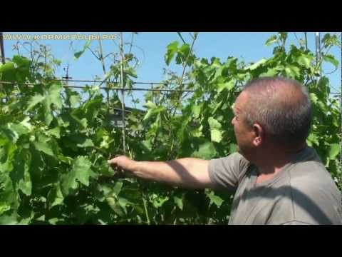 Виноград технология выращивания 88