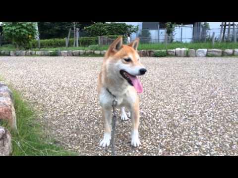shibainu 柴犬スペック 20140705 沖野玉枝 検索動画 18