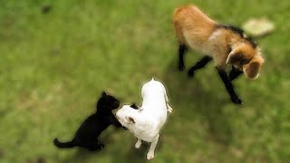A jaguar cub, a maned wolf pup and a dog walk into a yard...