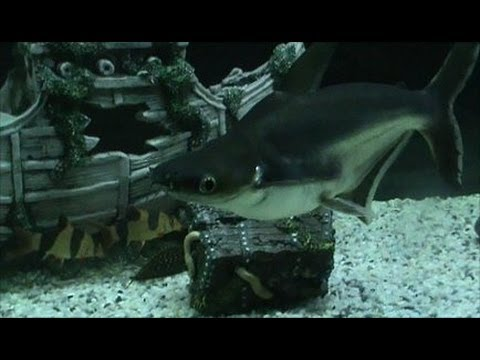 200 gallon aquarium with freshwater sharks and clown for Shark fish tank