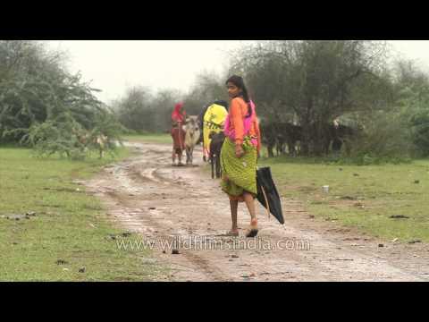 Tall Rajasthani girl walks in monsoon season, umbrella in hand, goat in tow