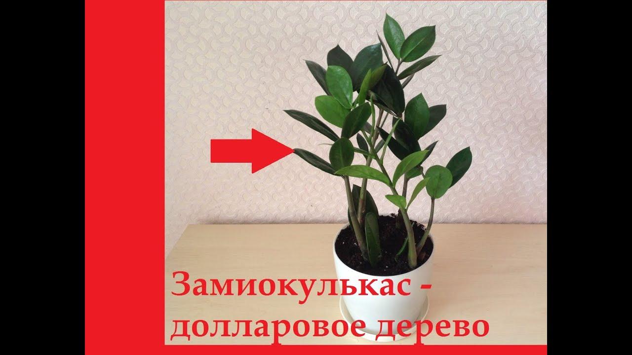 Как рассадить долларовое дерево в домашних условиях пошагово