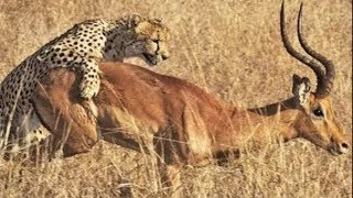 Moments Of Wild Animal Fights Cheetahs Attack Antelopes And Ostrich - Animals Attack