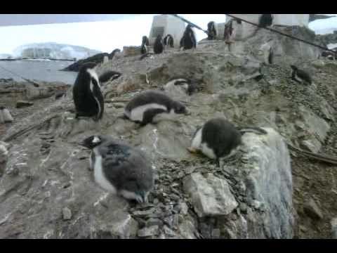 Antarctic Penguins Up close 2