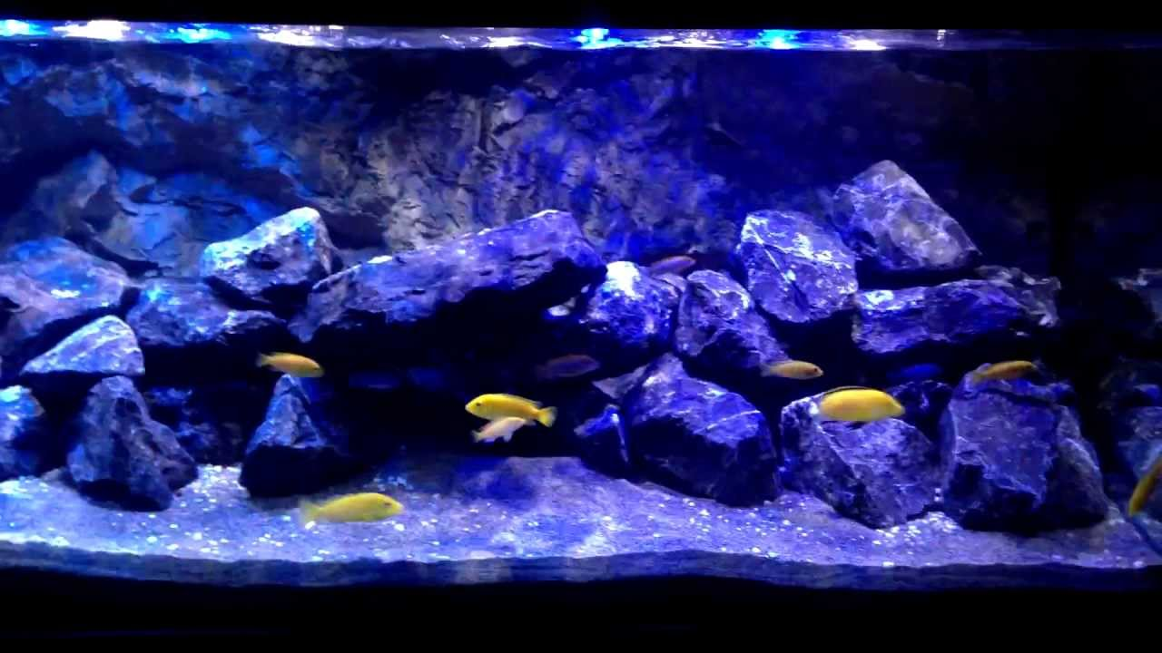 malawi aquarium 540l mbuna youtube