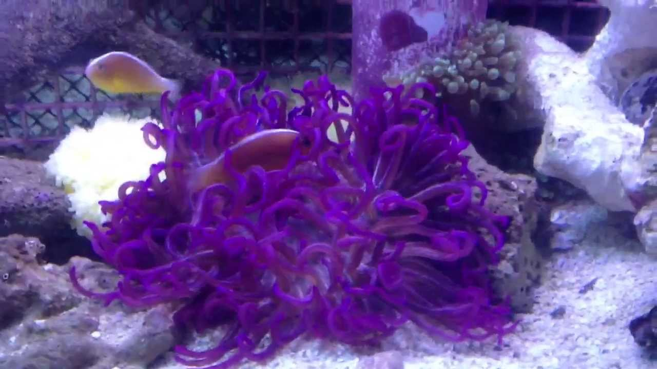 purple long tentacle anemone youtube. Black Bedroom Furniture Sets. Home Design Ideas