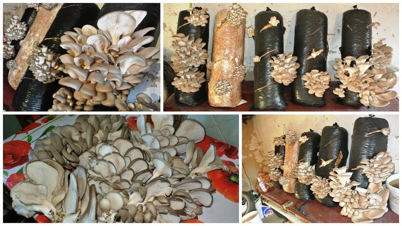 Выращивание грибов вешенка - грибной бизнес в домашних