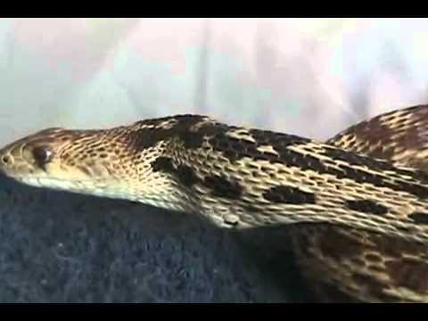 Snake Eats Rat Alive  2 Of 3 video