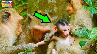 Part1. Serious Catching|The beginning of Bad little monkey catch Justino baby|Monkey Daily 425