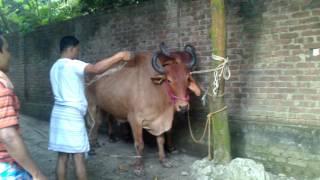 Big Cow Qurbani Bangladesh-2013, part-1