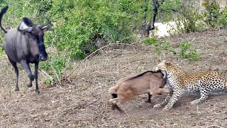 Battle Between Leopard & Wildebeest Mother over Calf | Graphic