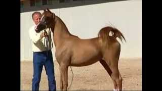Edens Radiant Juell XX - 2012 Purebred Arabian Filly