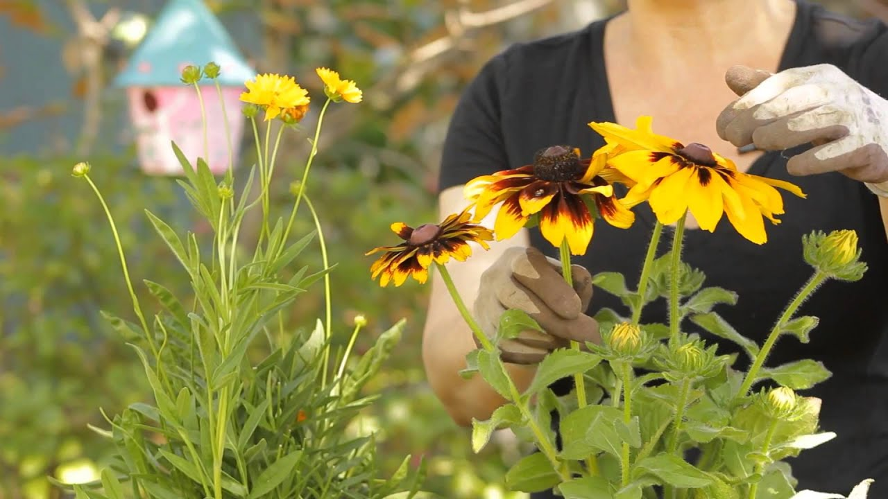 Black Eyed Susan Care Instructions From a Black-eyed Susan