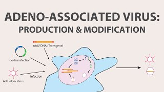 2) Adeno Associated Virus (AAV) - Production and Modification of AAV