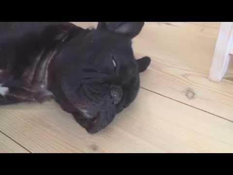 白目をむいていびきをかきながら爆睡する犬