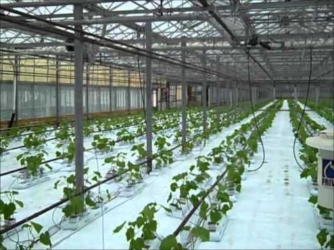 How To Plant Cucumbers In Hydroponic Greenhouse Youtube