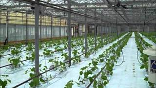 How To Plant Cucumbers in Hydroponic Greenhouse