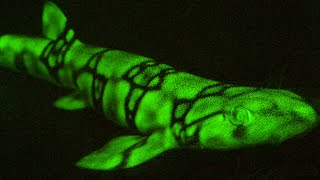 Snippet: This shark glows using a process previously unknown to science