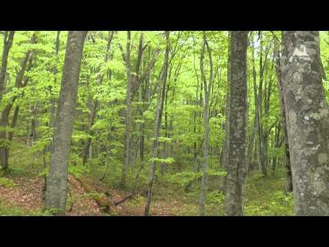 蔦野鳥の森(春夏) - ブナ林 - 0121A