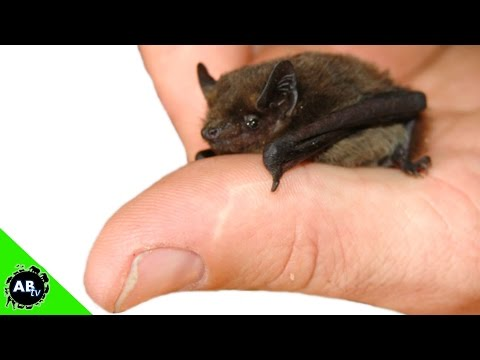 Smallest Bat in the World! The Conservation Files - Ep. 6 : AnimalBytesTV