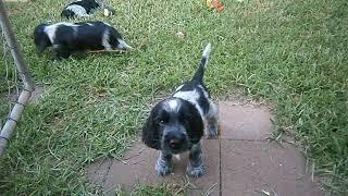 Gunwise Cocker Spaniel puppies.