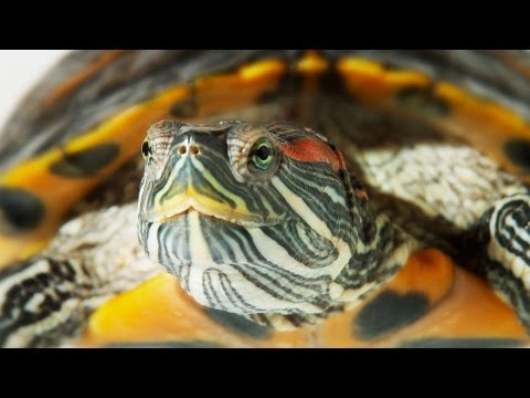 How to Set Up an Aquatic Turtle Tank | Pet Turtles