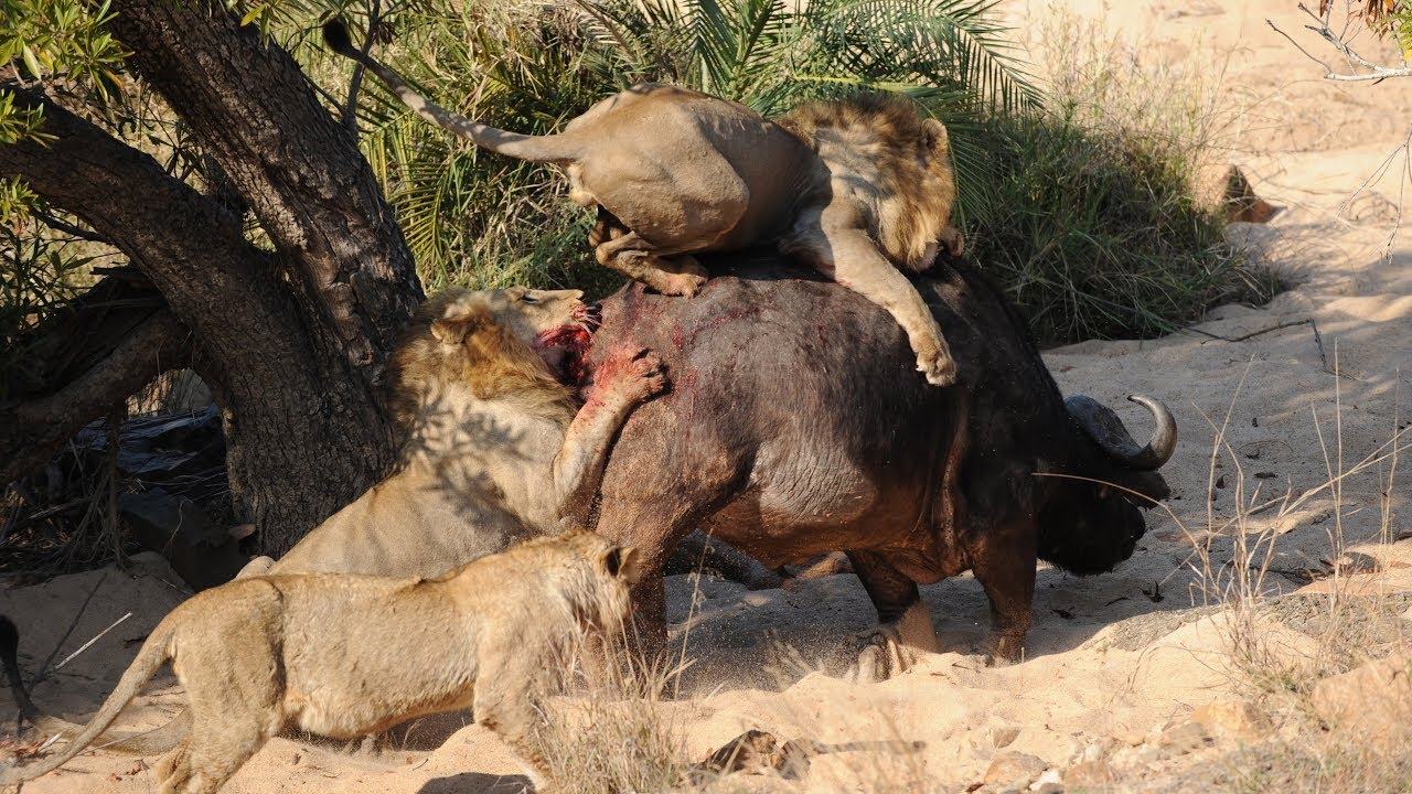 African safari lion attack