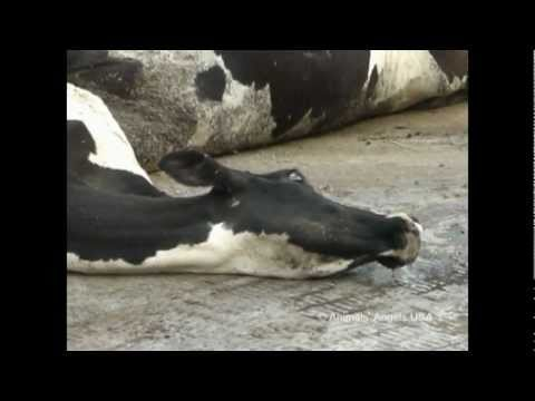 The disgusting treatment of dairy cows and their calves!