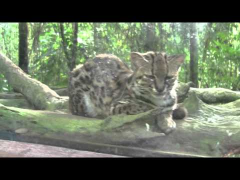 (HD) Ocelot in the Peace Lodge (Costa Rica)