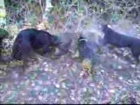 dogo argentino hunting boar. DOMUZ AVI .. dogo argentino