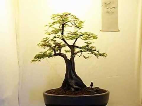 Unusual Dawn Redwood Bonsai.