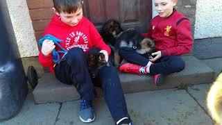 Gsd puppies just love kids
