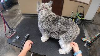 How I Groom Schnauzers | Complete Shave With Schnauzer Face
