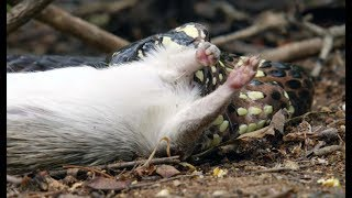 Snake Kills Rodent Which Fascinates Baby Capuchin  | Wild Brazil | BBC Earth