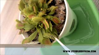Feeding Venus Fly Trap