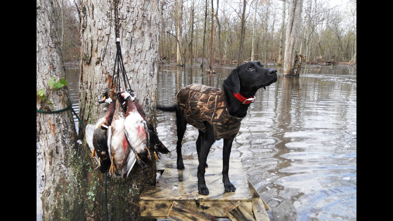 Mississippi delta flooded corn duck hunt youtube for Fishing license ms