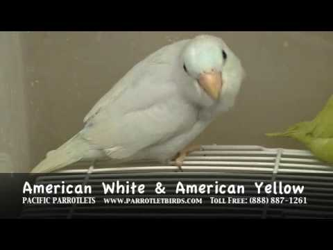 Parrotlet For Sale Philippines Parrotlets For Sale