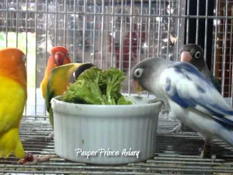Lovebirds video
