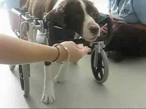 0 California Animal Rehabilitation   Sammi from Quadriplegic to Running