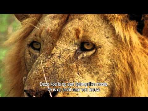 Koe vangt leeuw (Melkunie)