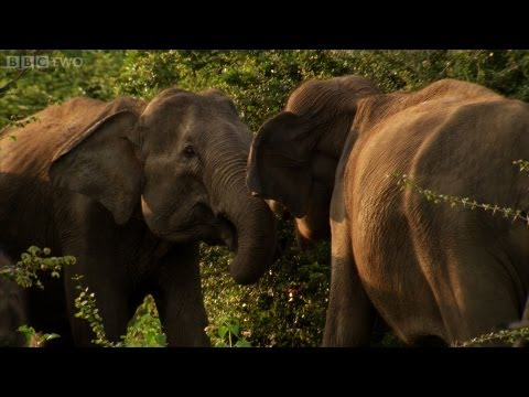 Mother fights for baby elephant - Sri Lanka: Elephant Island preview - Natural World - BBC Two