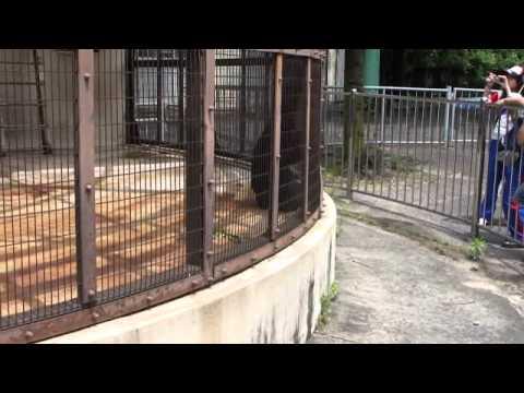 芸達者なフクロテナガザル(東山動物園)