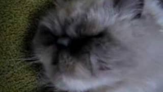 眠いのよ~・・・。。。まだまだ寝たいけど起こされちゃう猫