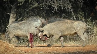 A Bloody Battle of Two Bull Warthogs       _(vid-85_720p)