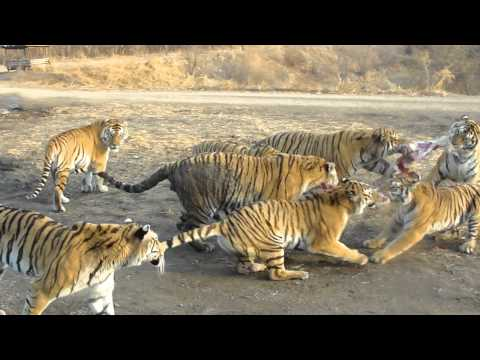 Tigers Eat Goat Tigers Eating a Goat