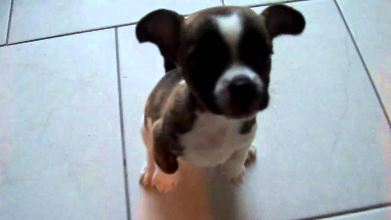 Macho franse bulldog / chihuahua - YouTube